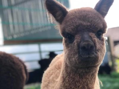 Alpaca in foreground with soft focus background
