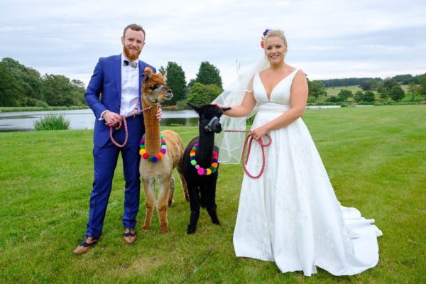 The bride and groom take some Alpacas for a walk