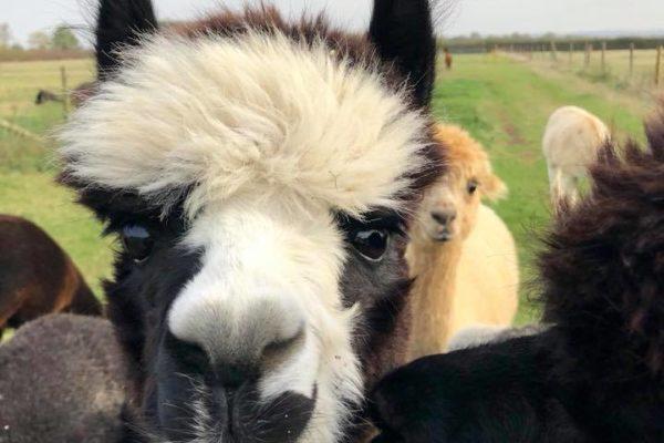 Alpacas in field close up