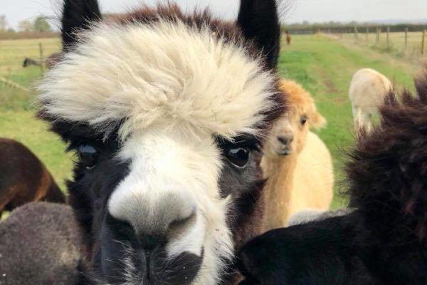 Alpaca with multicoloured face approaches