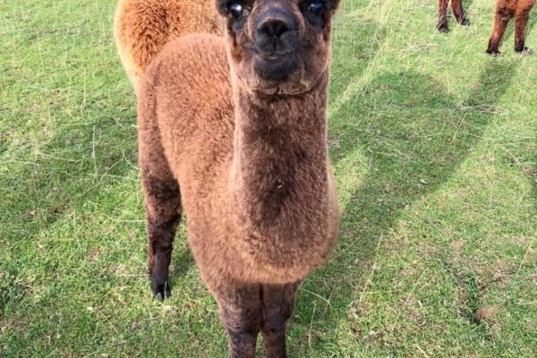 Young Alpaca looks up