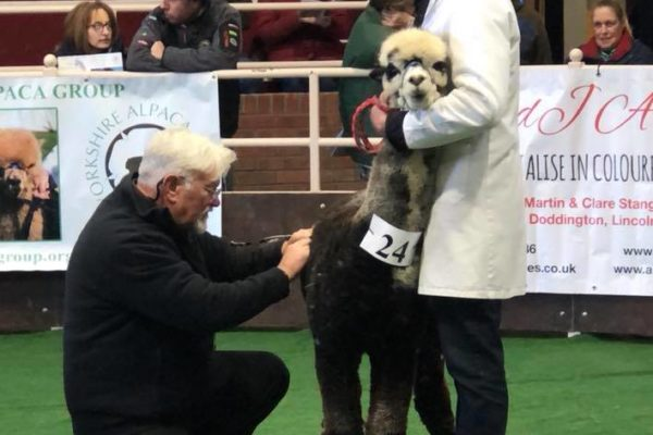 Alpaca being inspected at in a show
