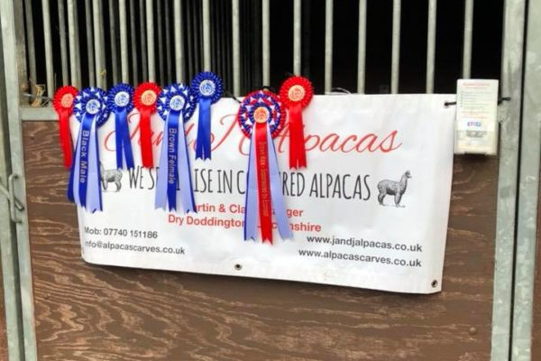 Rosettes on display for prize winning Alpacas