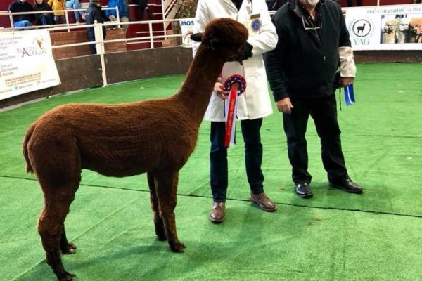 Alpaca being awarded at showground