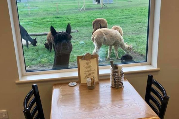 Alpaca view from inside cafe