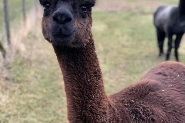 Alpaca in field with soft focus background