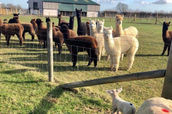Alpaca herd looking at lambs in the field next door