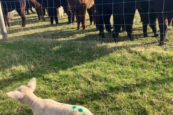 Alpaca herd looking at lamb in the field next door