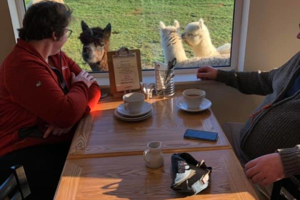 Looking at alpacas through the window