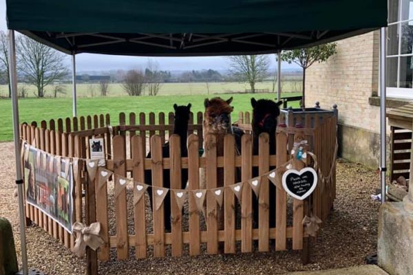 Alpacas in Wooden Picket Fence Pen