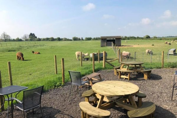 Alpacas in field next to outdoor seating area