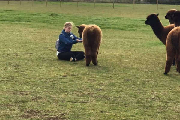 Woman sitting in field feeding alpaca