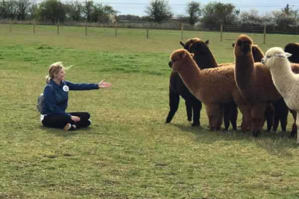Woman sitting in front of alpaca herd