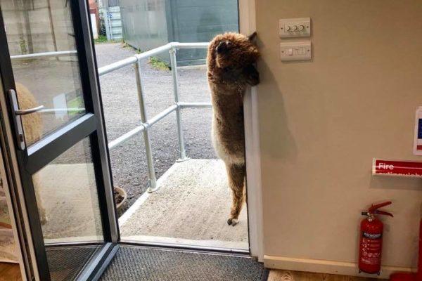Alpaca peering round doorway of building