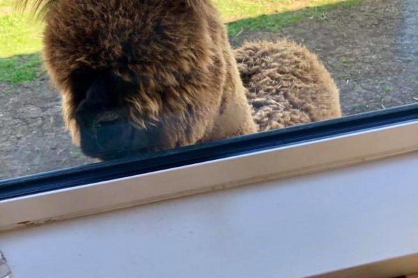 Alpaca looking through cafe window