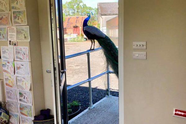 Peacock sat on pathway railings