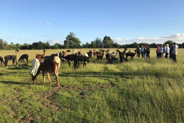 Alpaca Meet and Greet in field with Alpaca herd
