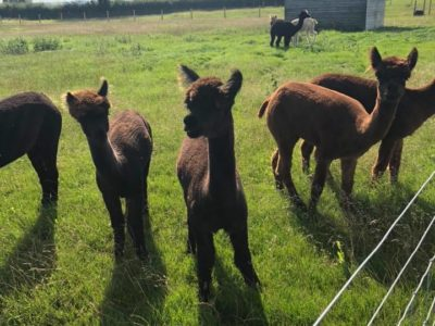 Young Alpacas in a field