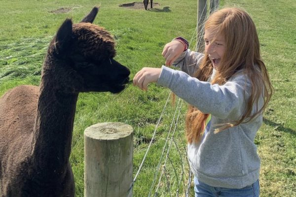 Girl feeding an alpaca grass