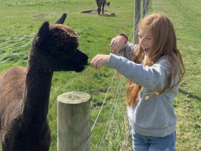 A girl feeds grass to young Alapca