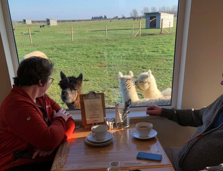 Alpaca view from inside the cafe