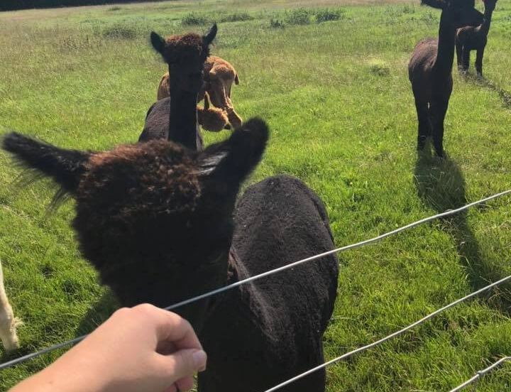 Guest going to stroke an Alpaca