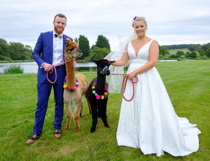 Bride and Groom with Alpacas in halters with lead ropes