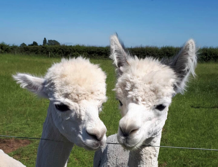 Two Alpacas standing at fence