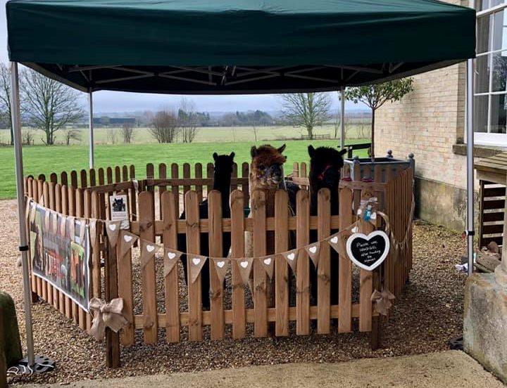 Alpacas in wooden picket fence pen