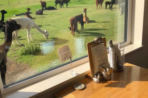 Alpacas in field, view from the cafe window