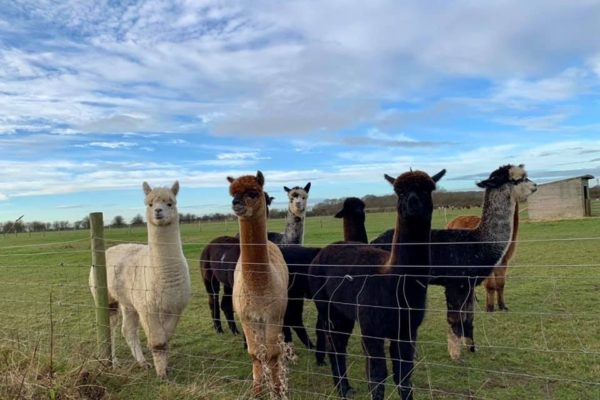 Male Alpacas stood together