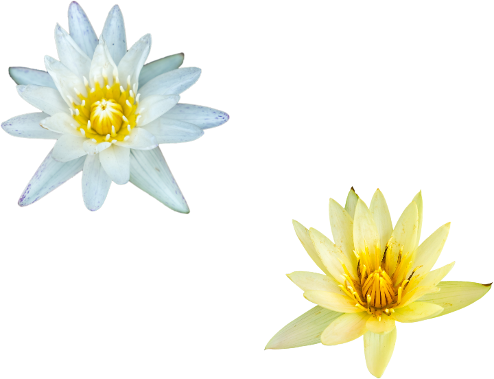 Flower heads on transparent background