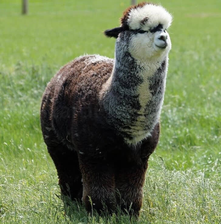 Alpaca called Theodore