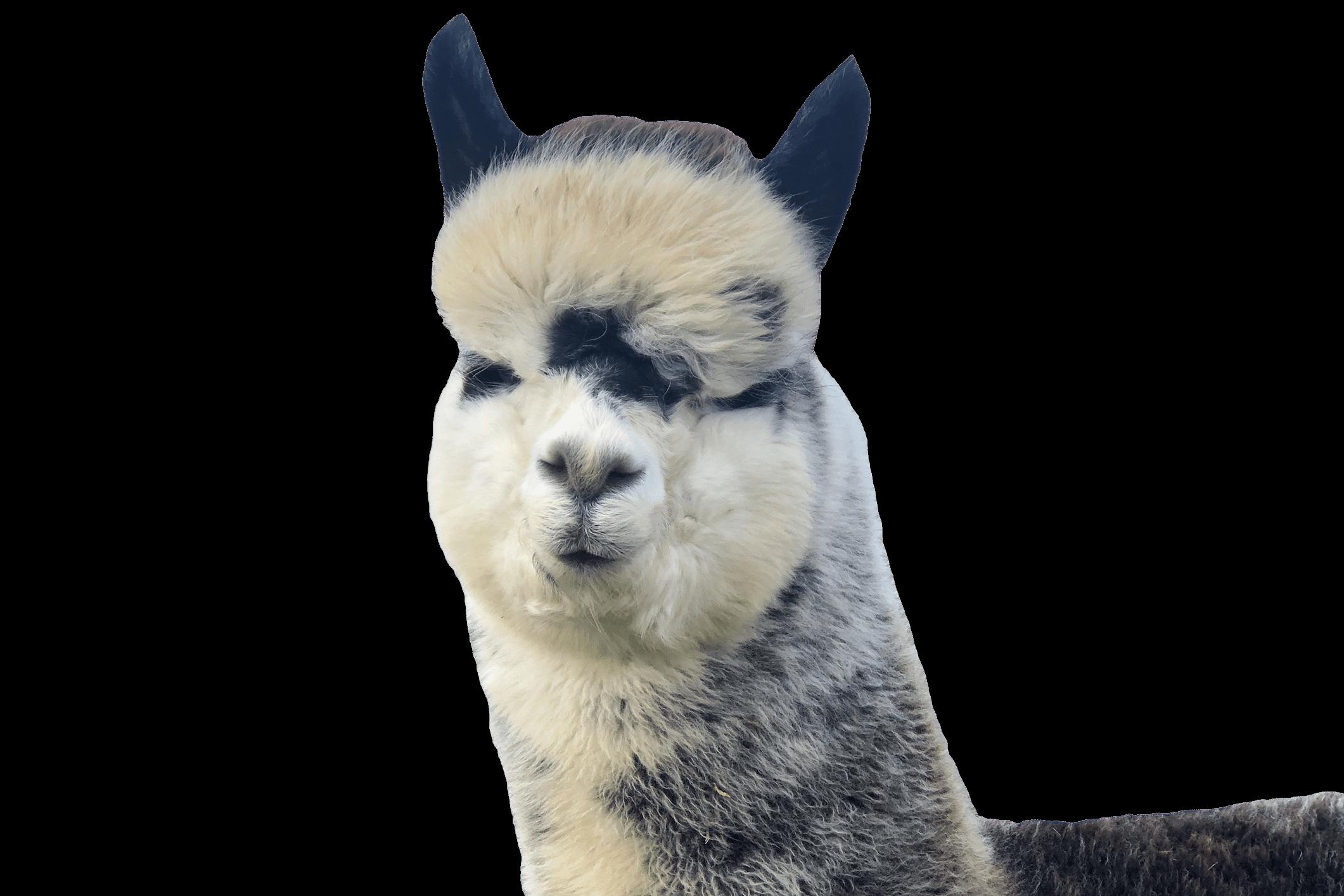 Alpaca called Theo